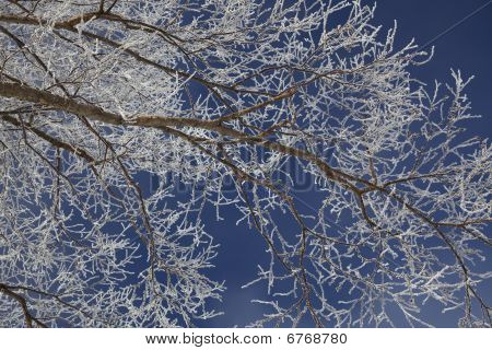 Frosted Aspen Branch