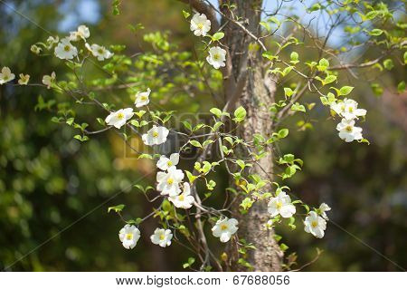 White flowering dogwood tree (Cornus florida)