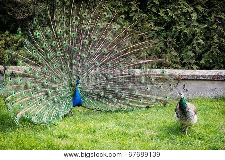 Peacock Couple