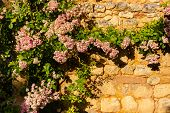 stock photo of climbing roses  - Rose climbing plant in a stoned wall in the Dordogne region of France - JPG