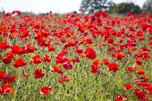 stock photo of land-mass  - A mass of beautiful red poppies in a meadow against a blue sky