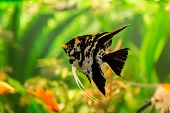 stock photo of freshwater fish  - A green beautiful planted tropical freshwater aquarium with fish pterophyllum scalare - JPG