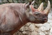 picture of fat lip  - The black rhinoceros or hook - JPG