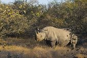 foto of rhino  - Endangered black rhino out in the wild - JPG