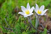 image of diffusion  - Wild prairie crocus closeup on green mossy diffuse background - JPG