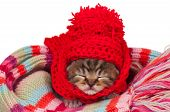 picture of knitted cap  - Neonate kitten on a warm knitted scarf over white background - JPG