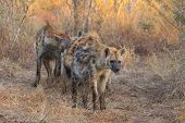 pic of hyenas  - Alert hyena adult in the wild at sunrise - JPG