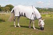 pic of horses eating  - Horse wearing a fly rug to avoid biting insects  - JPG