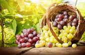 image of grape  - Grapes in a basket on a background of grape leaves in the sunlight - JPG