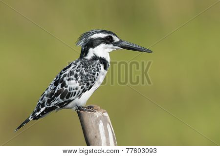 Pied Kingfisher (ceryle Rudis) Female Perched On A Wooden Post