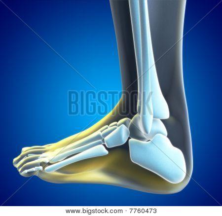 Foot xray