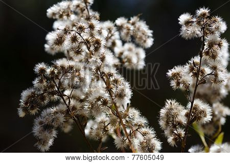 Collection Of White Burs Waiting On An Autumn Bush