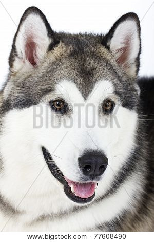 dog breed Alaskan Malamute on white background