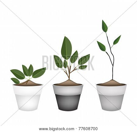 Three Ornamental Trees in Ceramic Flower Pots