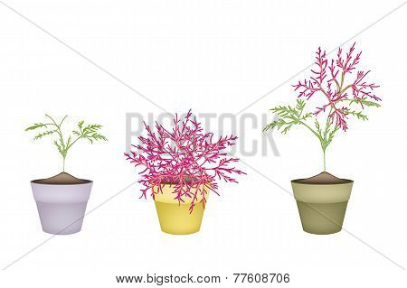 Beautiful Pink Flower on Tree in Terracotta Pots