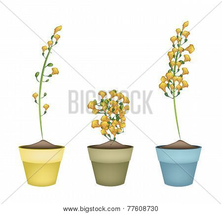 Yellow Padauk Flower in Ceramic Flower Pots