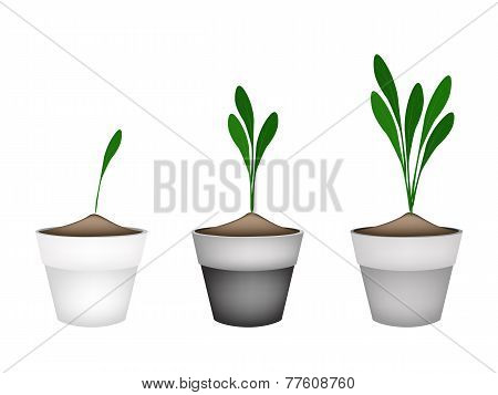 Basic RgbChinese Ginger Plant or Fingerroot Plant in Pots