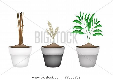 Fresh Cardamon Plants in Ceramic Flower Pots