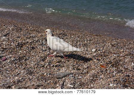 White Dove Near Sea