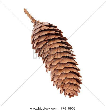 Spruce Tree Cone or Picea abies