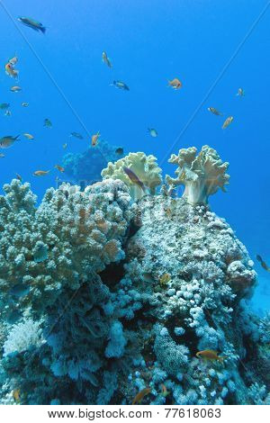 Coral Reef With Soft And Hard Corals With Exotic Fishes Anthias On The Bottom Of Tropical Sea  On Bl