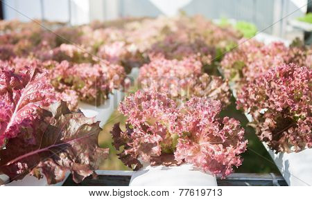 Red Coral Plants On Hydrophonic Farm