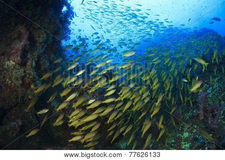 School of Fish underwater on coral reef