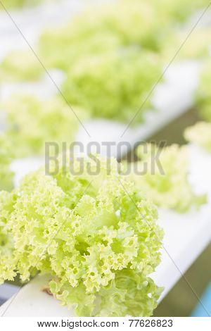 Green Coral Plants On Hydrophonic Farm