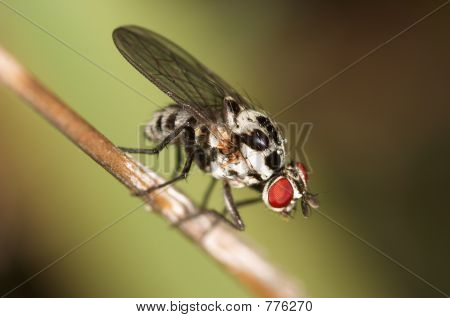 Fly - dipterous ( Anthomyia pluvialis )