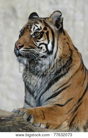 Sumatran tiger (Panthera tigris sumatrae).