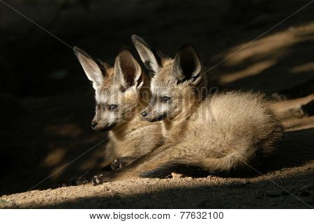 Bat-eared fox cubs (Otocyon megalotis).