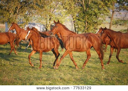 .herd Galloping In Autumn Field When The Sun Goes Down