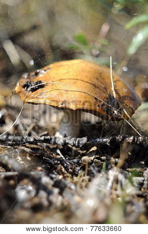 Big Mushroom An Aspen Mushroom In The Wood.