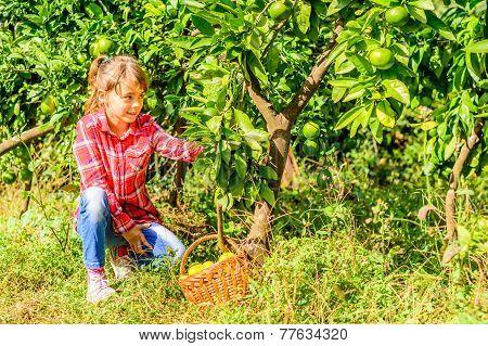 Little girl picking Clementine