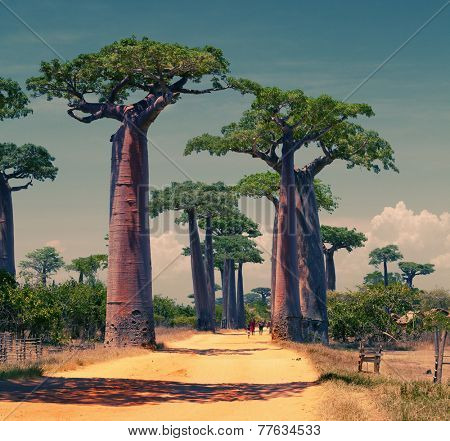 Rural african road among baobab trees. Madagascar