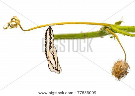 Tawny Coster Pupa