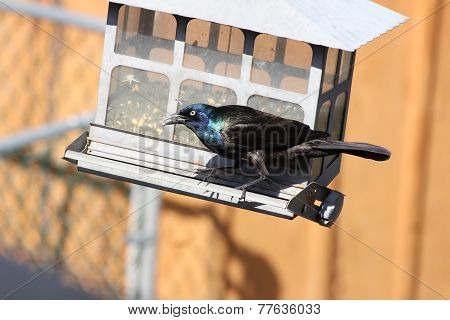 Grackle, Common, on a feeder