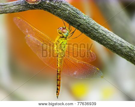 Yellow Dragonfly Siting On A Twig