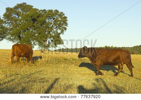 Cows Grazing In Chile