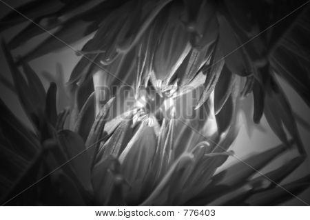 Dahlia abstraction