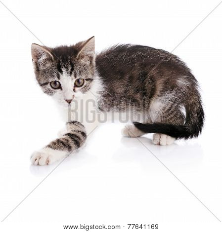Striped With White A Kitten.