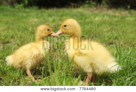 Small Ducks