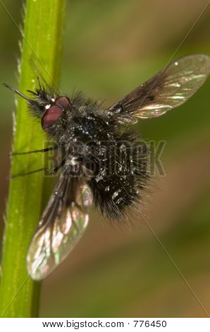 Fly cernidora - fly bumblebee ( Anthrax morio )