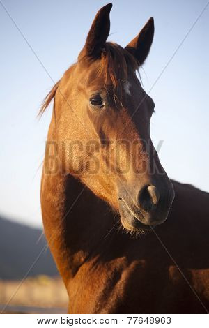 .peaceful Mare Horse Head Shot Side View Summertime