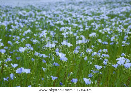 Blue Flax Field
