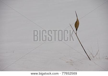 Milkweed In The Snow