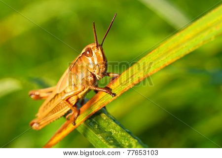Locust in a grass