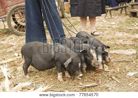 Pigs for sale at a Hmong market