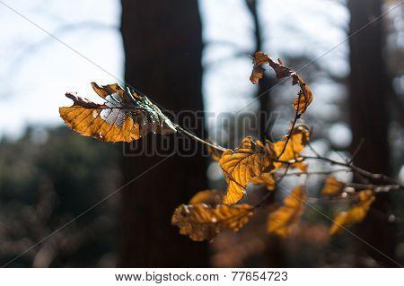 Shriveled leaf
