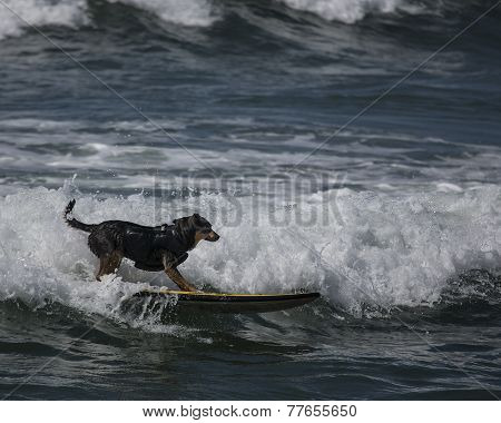 Surfing dog at the beach